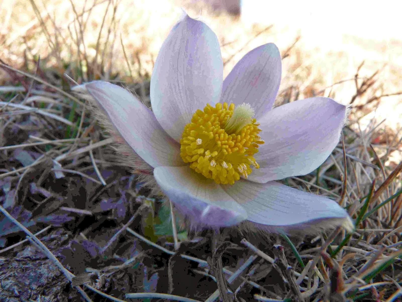 Anémone de printemps